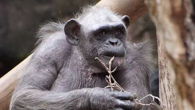 scimmia anziana malata abbraccio